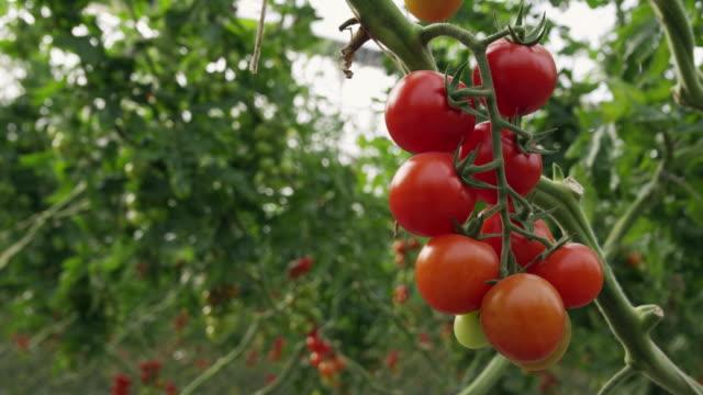 CU View of ripe tomato bunch on vine / Malaga, Spain