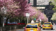 WS View of Row of Cherry Blossom trees and Park Avenue traffic / New York, United States