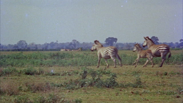 MS View of several zebras running