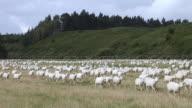 WS View of Sheep Herd / Catlins, New Zealand