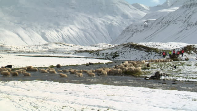 MS View of sheep herd crossing river at base of mountain during rettir / Skagafjorour, Nordhurland Vestra, Iceland