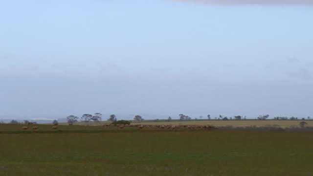 WS View of Sheep walking in field / Coolgardie and Kalgoorlie, Western Australia, Australia