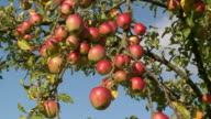 CU View of signal apple at tree / Kirf, Rhineland-Palatinate, Germany