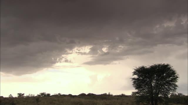 WS T/L View of single tree in Kalahari desert / Kalahari Desert, North West, South Africa