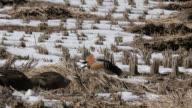 View of Spot-billed Ducks in Injegun