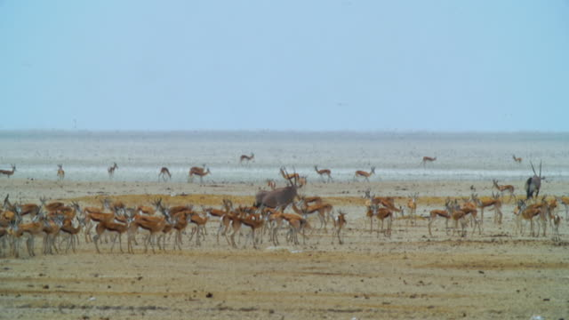 WS View of Springboks and Gemsboks in savannah / Etosha National Park, Namibia