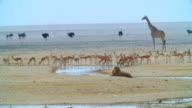 WS View of Springboks, giraffes, Ostriches and lions near waterhole / Etosha National Park, Namibia
