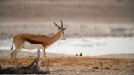 WS PAN View of Springboks in savannah / Etosha National Park, Namibia