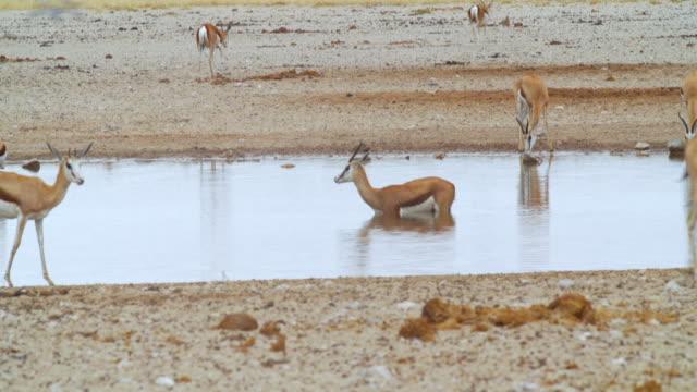 WS TS View of Springboks near waterhole / Etosha National Park, Namibia