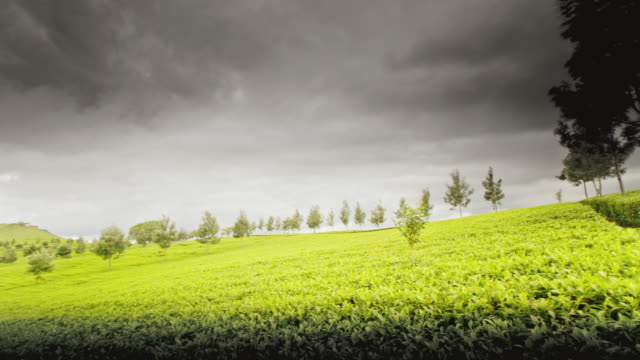 MS PAN T/L View of stormy clouds over tree plantation / Tanzania