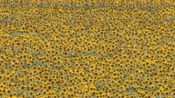 MS AERIAL ZO View of sunflower field / Polokwane, North West Province, South Africa