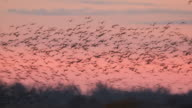 WS PAN View of sunrise Flocks of Sandhill Cranes Grus canadensis flying in sky / Kearney, Nebraska, United States