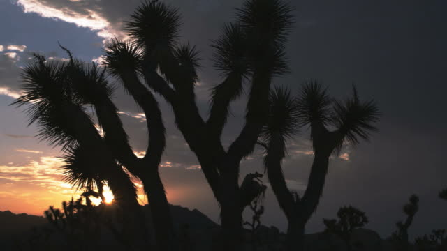 WS View of sunset behind Joshua tree / Palm Springs, California, USA