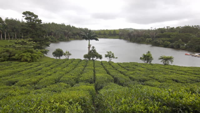 View of tea bushes with a lake in the background