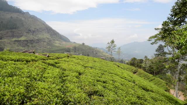 WS View of Tea Plantation / Nuwara Eliya, Uva, Sri Lanka