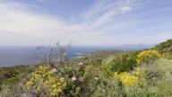 WS View of the Gulf of Ajaccio with flowering broom (Genista), Macchia / Verghia, Corsica, France