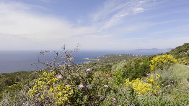 WS View of the Gulf of Ajaccio with flowering broom (Genista), Macchia / Verghia, Corsica, France