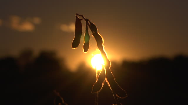 CU T/L View of the sun setting behind ripe soybeans in a field  grown from gentically modified seed / Chelsea, Michigan, United States