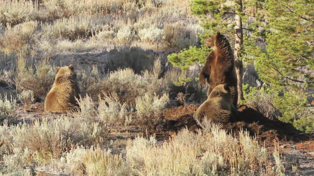 WS View of three grizzlies feeding on and guarding moose carcass on frosty morning / Tetons, Wyoming, United States