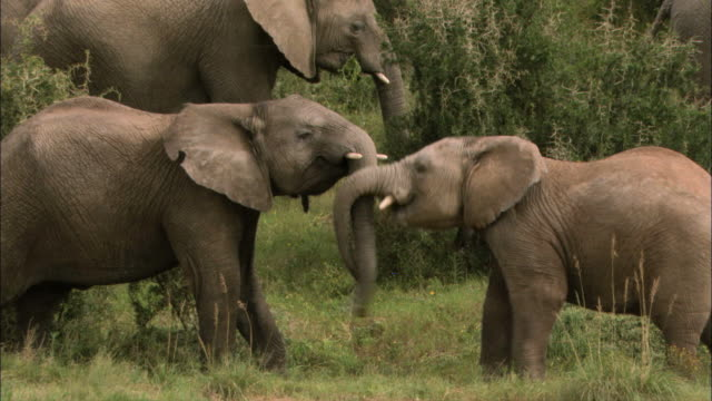 MS PAN View of Two african elephants calves playing / South Africa, Africa