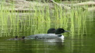 MS TS View of Two common loon and chicks flowing in river / Algonquin Provincial park, Ontario, Canada