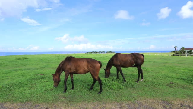 MS View of Two horses pasture on field / Jeju-do, South Korea
