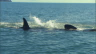 MS ZI View of two killer whales flippers at water surface / Mossel Bay, Western Cape, South Africa