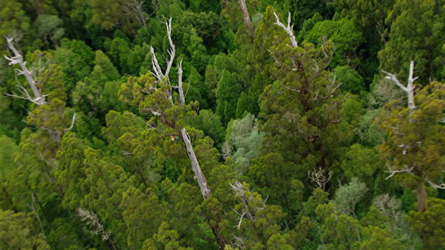 MS AERIAL ZO View of two men's hanging with rope on tall tree in wooded area / Tasmania, Australia