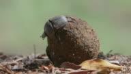WS View of Two Scarab beetles rolling a ball of dung / Pilanesberg, Gauteng, South Africa