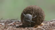WS TS View of Two Scarab beetles rolling a ball of dung / Pilanesberg, Gauteng, South Africa