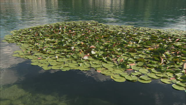 WS View of water lily in lake / Bled, Slovenia