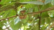 WS View of Waxy Monkey Frog [Phyllomedusa sauvagii] holding onto branch / Peruvian Amazon, Peru