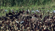 MS View of Whistling ducks and storks in wetlands / Palo Verde, Guanacaste, Costa Rica