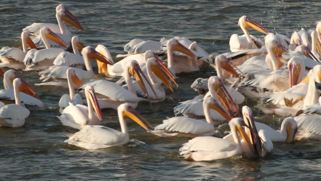 MS View of White Pelican (Pelecanus onocrotalus) flock in Fish pond and fidding project for migrating Pelicans / Hdera, Mediterranean, Israel