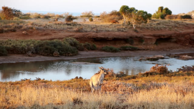 WS View of Wide Landscape and River with kangaroo / Perth, Australia