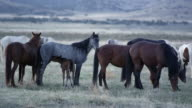 View of wild horses grazing as young filly nurses