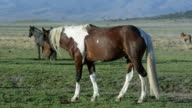 View of wild Paint horse slowly grazing in grass