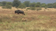 WS TS View of Wildebeest being stalking by lioness, Pilanesberg Game Reserve / North West Province, South Africa