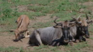 WS SLO MO View of Wildebeest lying down for a rest in the heat of  day / Pilanesberg, Gauteng, South Africa