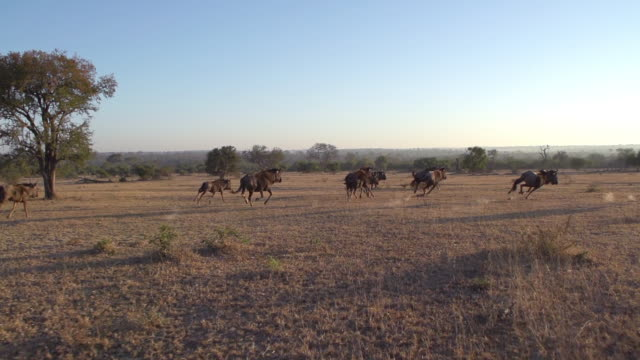 WS POV View of Wildebeest running / Kruger National Park, Mpumalanga, South Africa