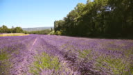 WS View of wind blowing through field of lavender flowers with trees / Vanlensole, Provence Alpes Cote d'Azur, France