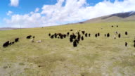 WS AERIAL View of yak in Qinghai grassland plateau/Qinghai,China.
