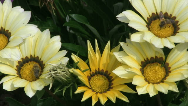 MS View of yellow gazania / Ludwigsburg, Baden-Wuerttemberg, Germany