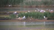 WS View of Yellow legged gull (Larus michahellis), Mediterranean gulls, Common terns in nesting colony / Tulcea, Danube Delta, Romania
