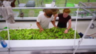 MS SLO MO HA TOP View of Young couple sorting lettuce in green house at organic farm / Chatham, Michigan, United States