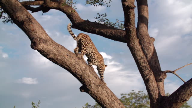 WS SLO MO View of Young leopard descending Marula tree / Kruger National Park, Mpumalanga, South Africa
