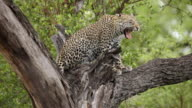 MS View of Young leopard resting and yawning in tree / Kruger National Park, Mpumalanga, South Africa