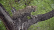 MS SLO MO View of Young leopard resting on tree / Kruger National Park, Mpumalanga, South Africa