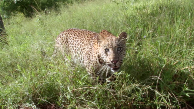 WS TS View of Young leopard walking past camera / Kruger National Park, Mpumalanga, South Africa