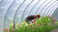 WS SLO MO TS View of Young woman picks flowers in green/hoop house at organic farm / Chatham, Michigan, United States